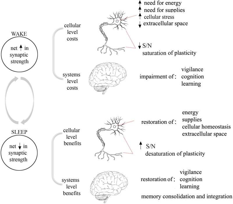 Herstel van synaptische en cellulaire homeostase